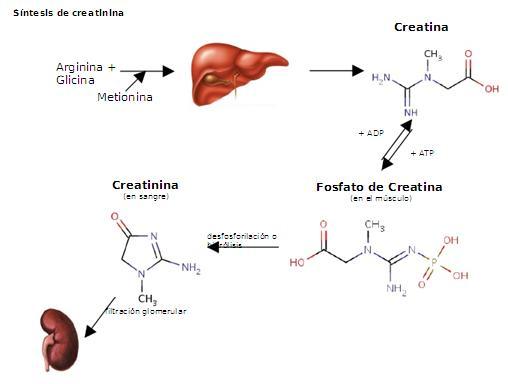 Ciclo creatina